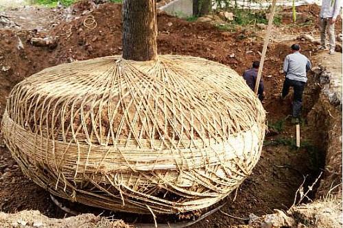 大树移植保水剂