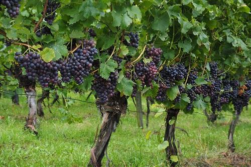 葡萄园保水剂