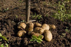 马铃薯保水剂