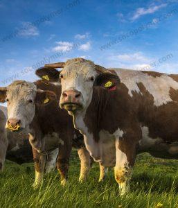 Agricultural-Grade-SAP-for-animal-litter