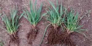 Argentina-Oats-water-retention-polymer-12