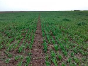 Argentina-Oats-water-retention-polymer-8