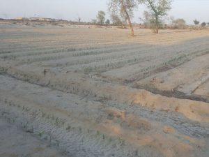Pakistan-corn-agricultural-grade-sap-1