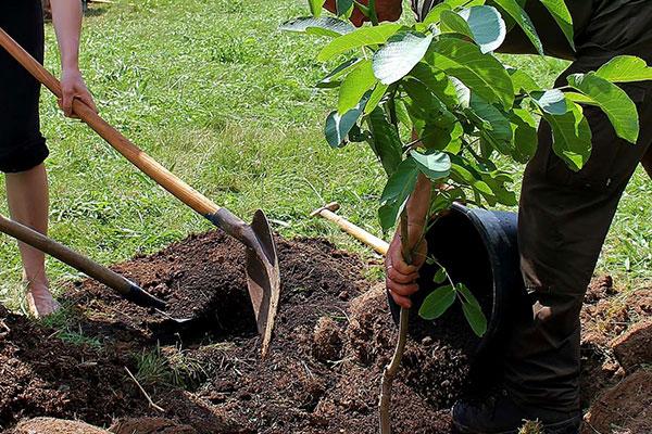SOCO® 保水剂有效种植树木、灌木和丛林。