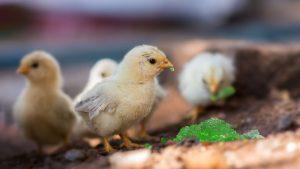 幼禽能量补充液